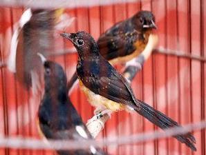 SHAMA BIRD ~ Bird Articles
