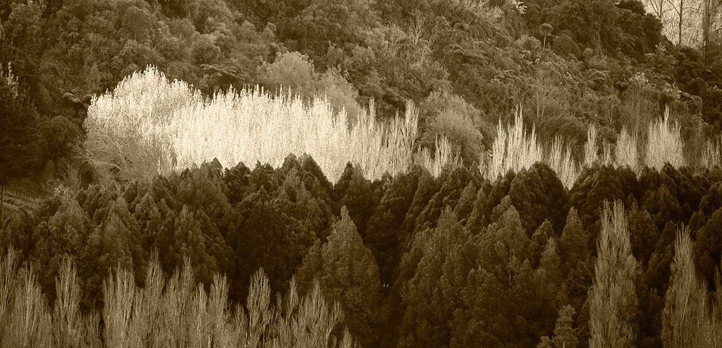 Pohangina Valley trees