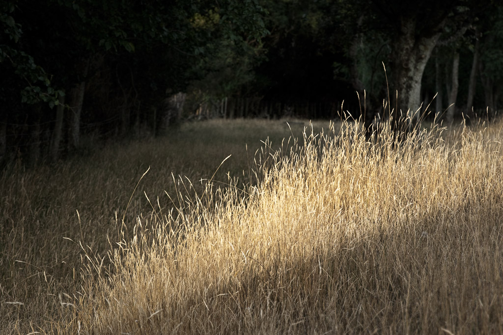 Summer grasses, last light