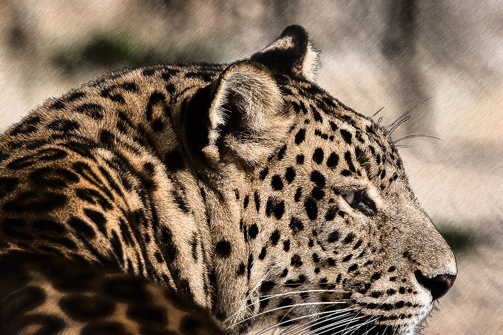 Leopard, Naini Tal zoo, India