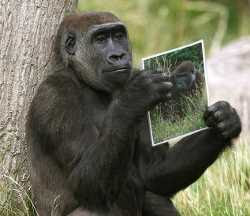 Ternyata Gorila Bisa Juga Jatuh Cinta Lewat Foto