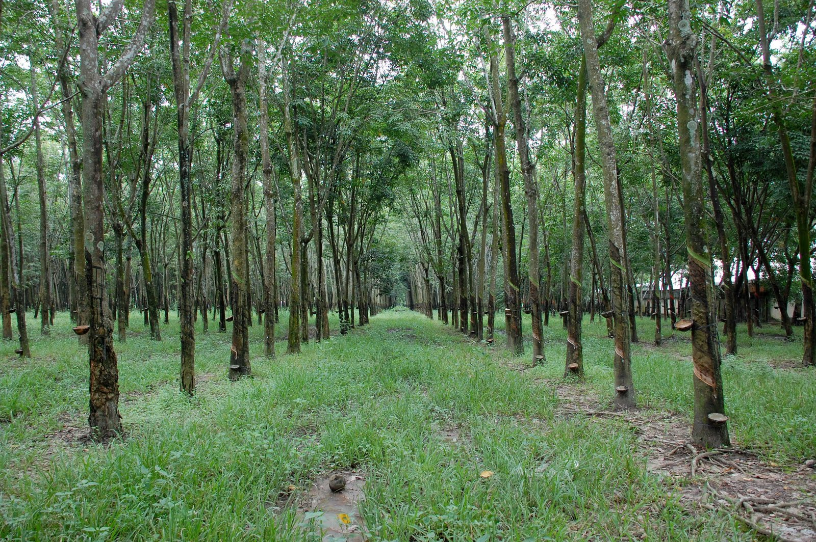 Now We Are Six Rubber Trees