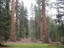 Giant Forest, Sequoia