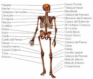 Cervical vertebrae are those in the