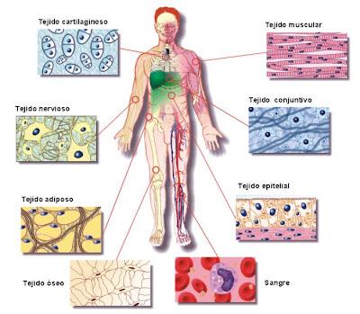 Célula - Tejido - Órgano - CIENCIAS NATURALES - Biología II