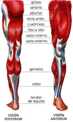 Musculos pierna y cadera