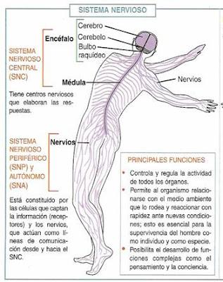 Sistema nervioso - CIENCIAS NATURALES - Biología II