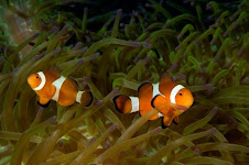 Bali Clown Fish