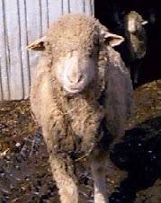 unshorn ewe