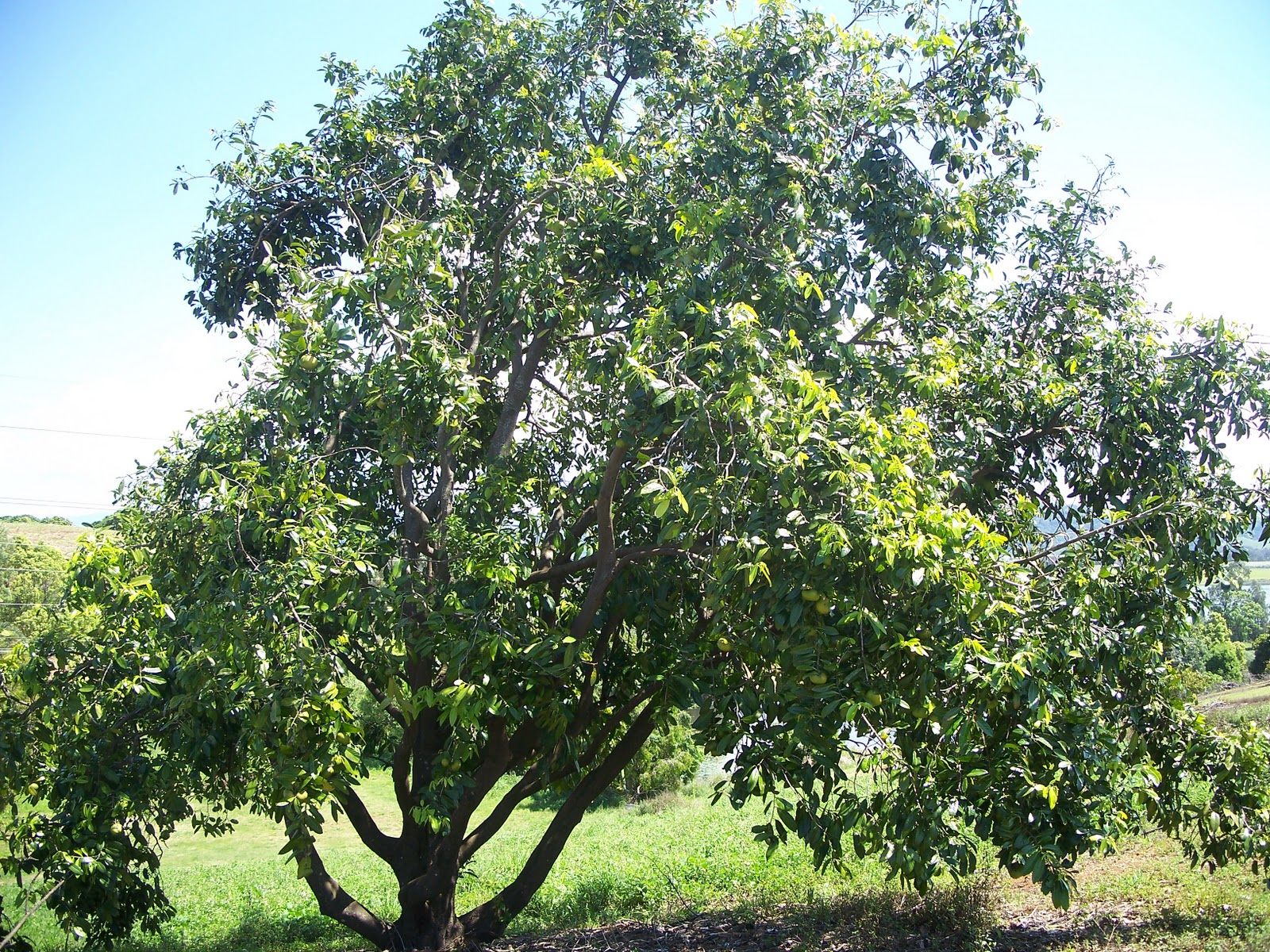 Black Sapote Or Chocolate Pudding Fruit Tree What A