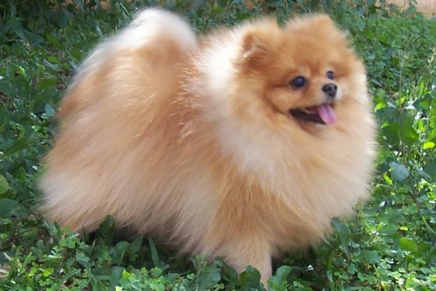 Cute Pomeranian Puppies Wallpaper Criadores De Animales Perros