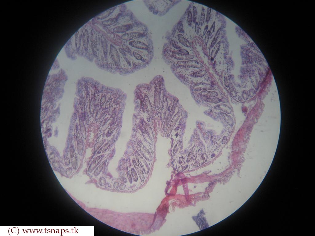 Rectum Histology Slide
