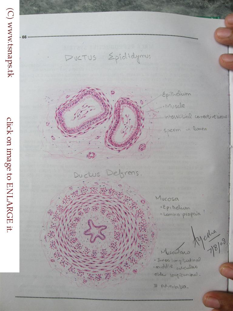 Vas Deferens Diagram Histology Slide...