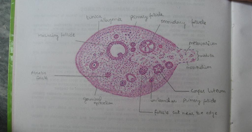 Histology Slides Database  Histological Diagram Of Ovary
