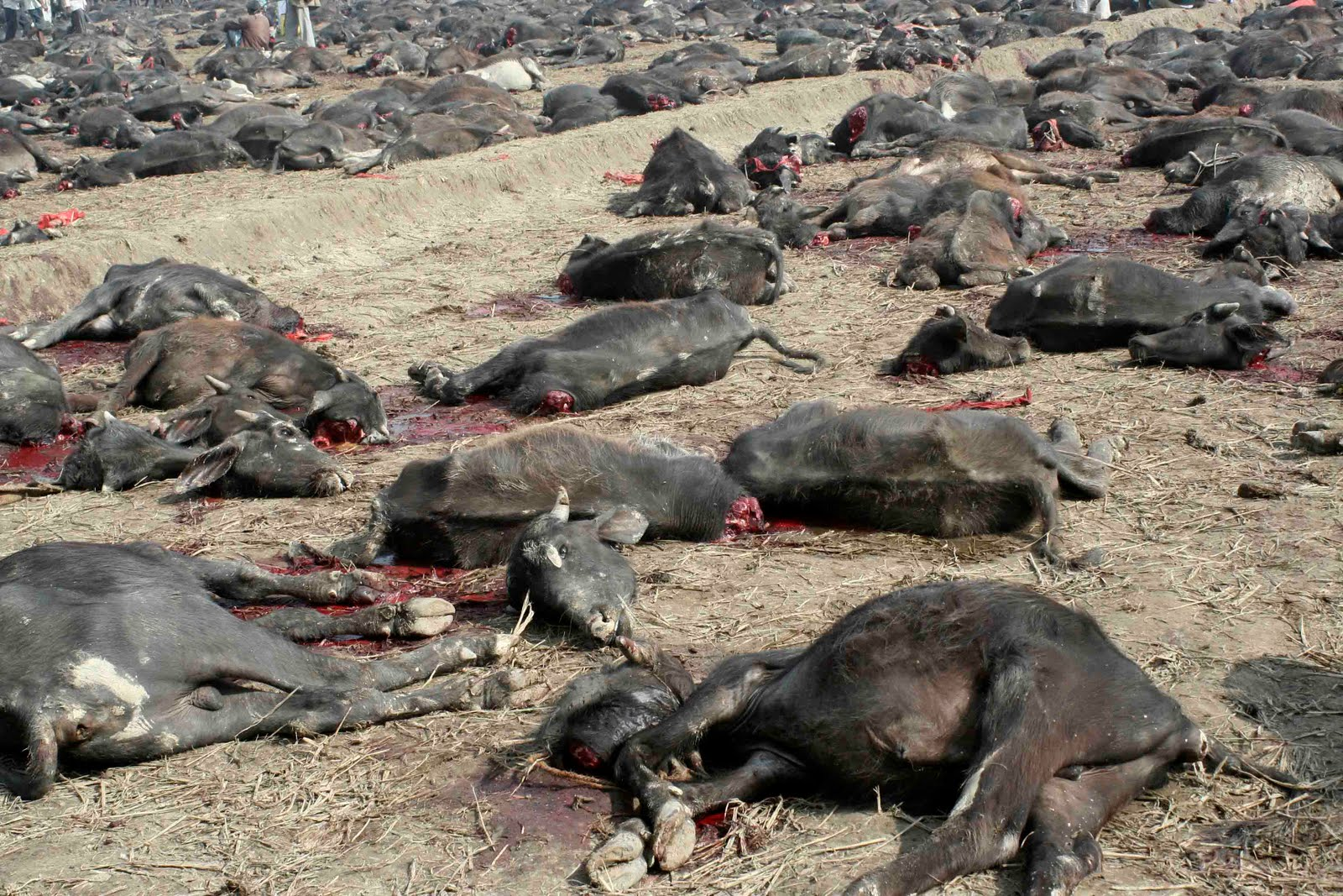 Stop the World's Largest Animal Sacrifice