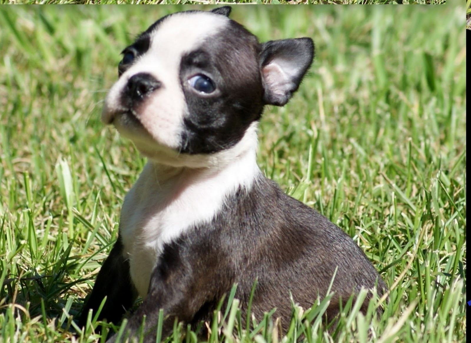 seal boston terrier boston mania desireable colors of a boston terrier 1193