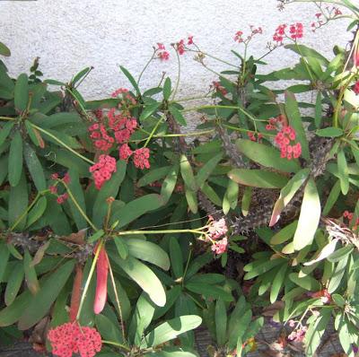 Rvores e arbustos floridos coroa de cristo no inverno for Planta venenosa decorativa