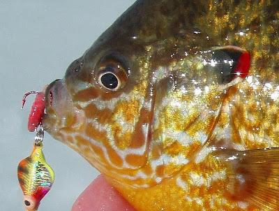 colorful+panfish.jpg