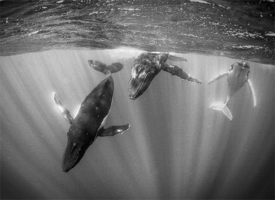 Humpback Whales in Sunlit Water