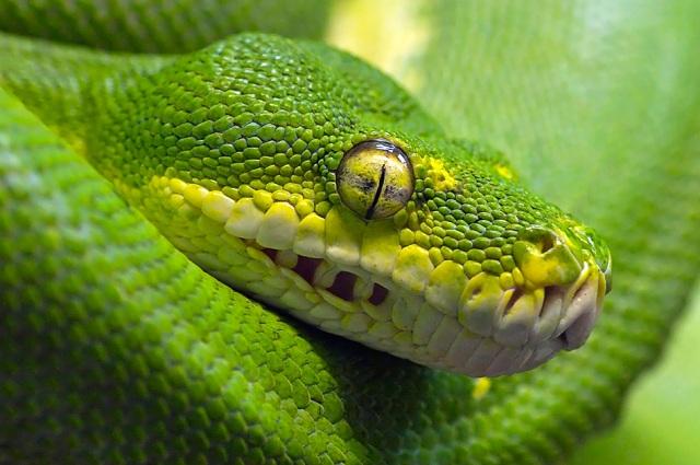 Built to kill - green python