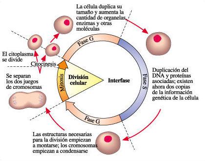 el Blog del Profe de Biolo: El Proceso de la División Celular