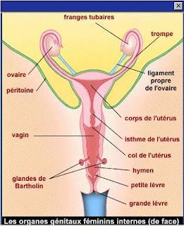 Sexologie pour adultes organe sexuel feminin for L interieur du vagin