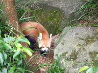 Red Panda at the Sydney Zoo in Australia