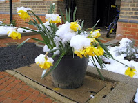 Daffodils covered in snow in London