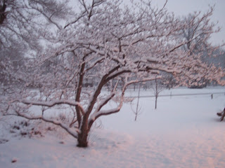 snow on crabapple