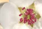 appleblossum
