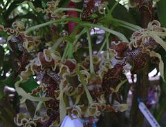 Anggrek Kribo Papua
