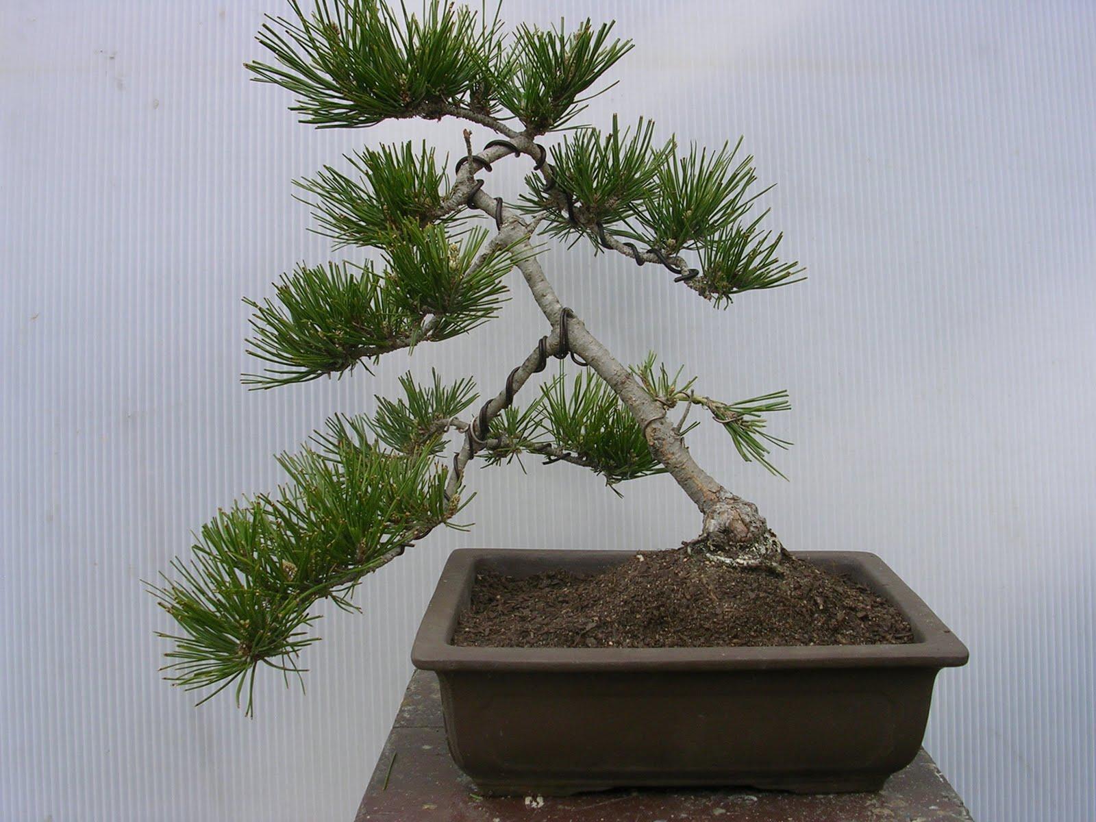 Fine Instant Bonsai Spring 2010 Japanese Black Pine Bonsai Wiring Cloud Oideiuggs Outletorg