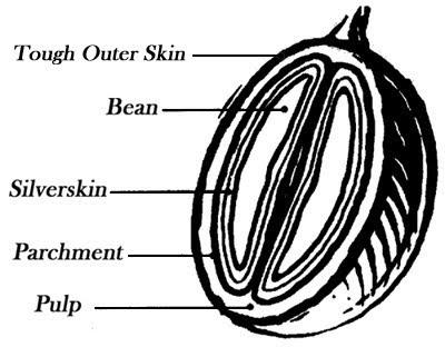 coffee cherry diagram