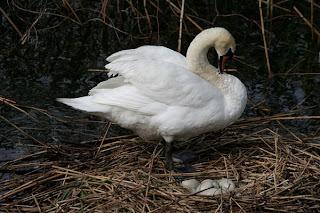 Il maschio al nido