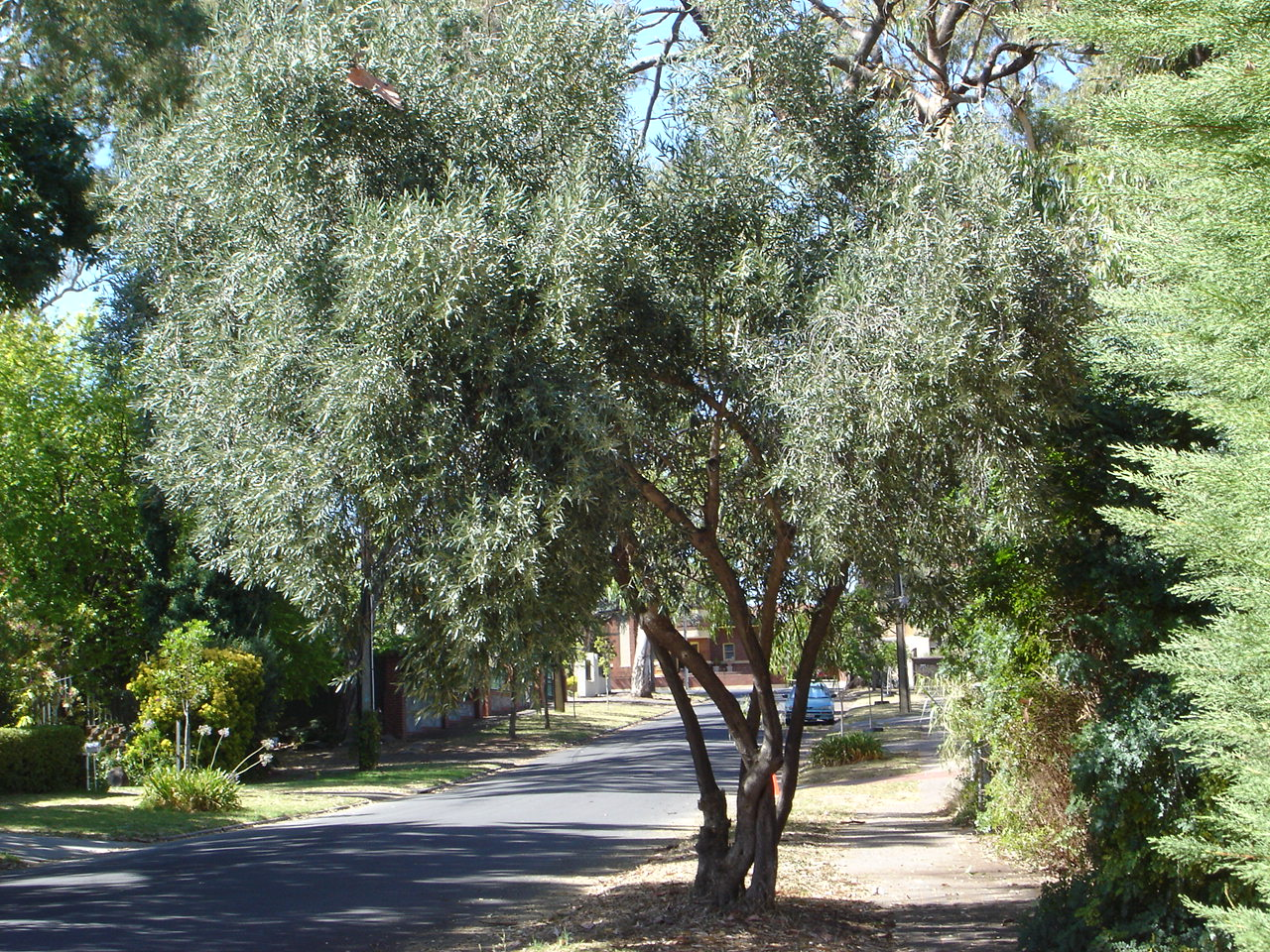 The Olive Garden Olive Trees As Ornamentals