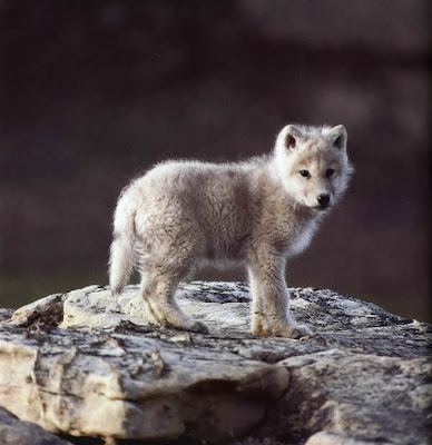Cute wolf cub. Shockingly cute. So cute I might die just looking at it. Cute cute cute cute cute.