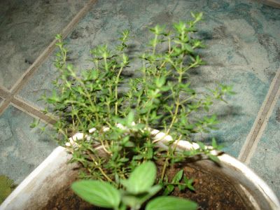 tomilho em mini horta