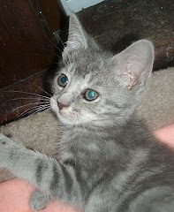 Harvey (blue cream tabby)