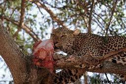 Leopards diet - photo#20