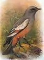 Saddam..Choose your words with a little care..This is a 'Rufous Bellied Bush Tyrant' and Mr Bush has none of its innocent characteristics