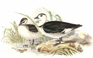 Ganso asiático Nettapus coromandelianus