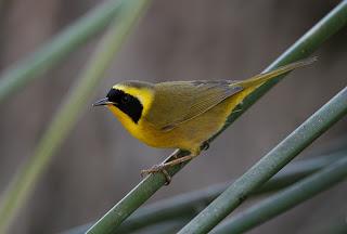 chipe peninsular Geothlypis beldingi aves de México en extinción