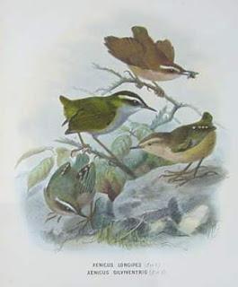 acantisita de matorral Xenicus longipes aves extintas de Nueva Zelanda
