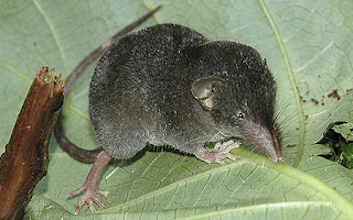endangered shrews