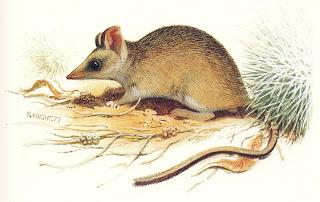 raton marsupial desertico Sminthopsis pasmmophila