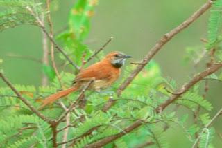 pijui de Roraima Synallaxis kollari aves de america en extincion
