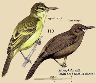 Tahiti reed warbler