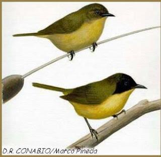 chipe de calva negra Geothlypis speciosa aves de Mexico en peligro de extincion
