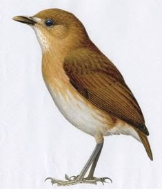 Brown banded antpitta