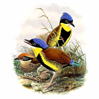 pitta de Gurney Hydrornis gurneyi